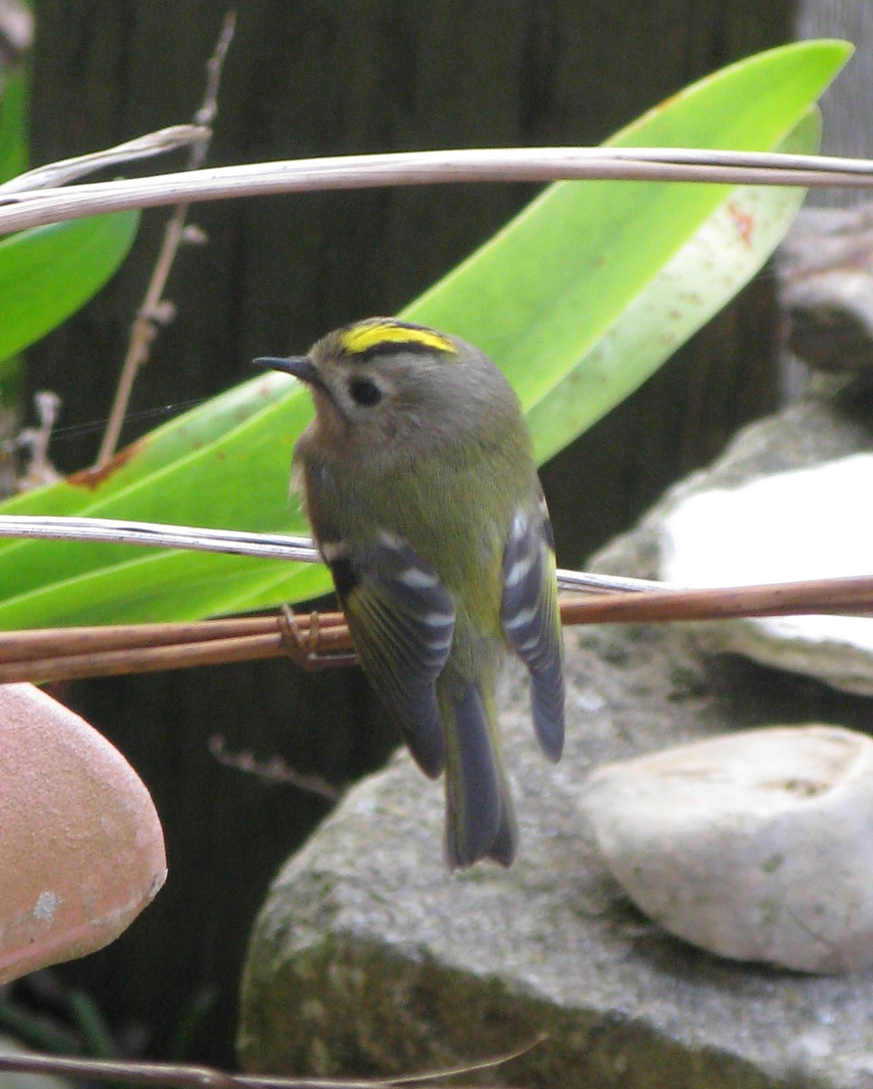 goldcrest visits the little barn on the isle of wight
