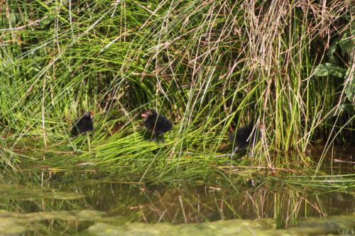 Moorhen chicks