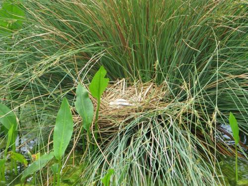 A Moorhen Nest