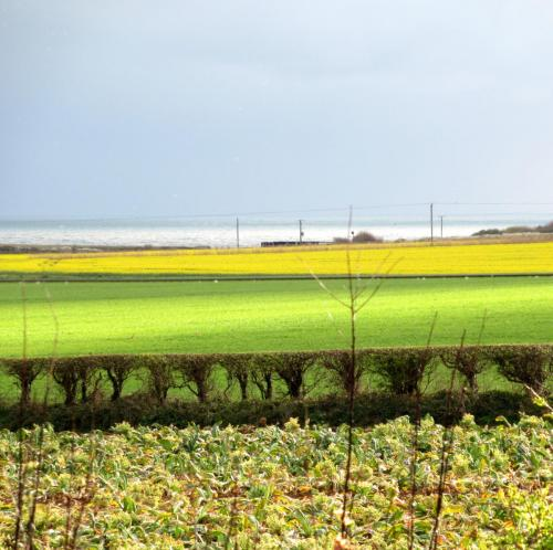 Rape fields in spring looking towards the coast guard cottages
